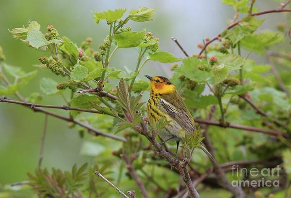 Photograph - Cape May Warbler by Charles Owens