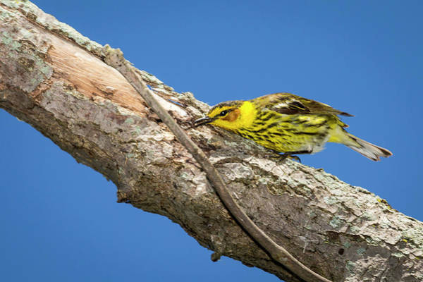 Photograph - Cape May Warbler - Magree Marsh by Jack R Perry
