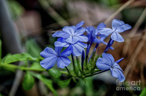 Plumbaginaceae Photograph - Cape Plumbago Flowers by Michelle Meenawong