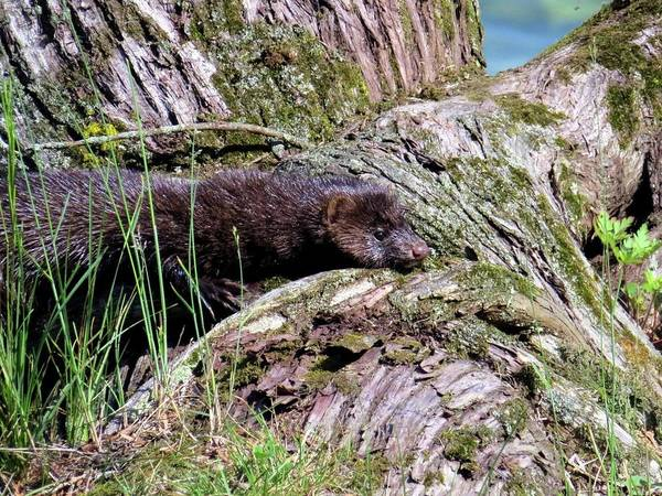 Photograph - Cape Vincent Mink by Dennis McCarthy