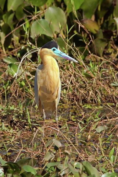 Photograph - Capped Heron by Aivar Mikko
