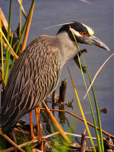Photograph - Capped Night Heron by Charles McKelroy