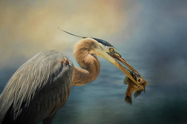 Photograph - Captured Delicacy Blue Heron Art by Jai Johnson