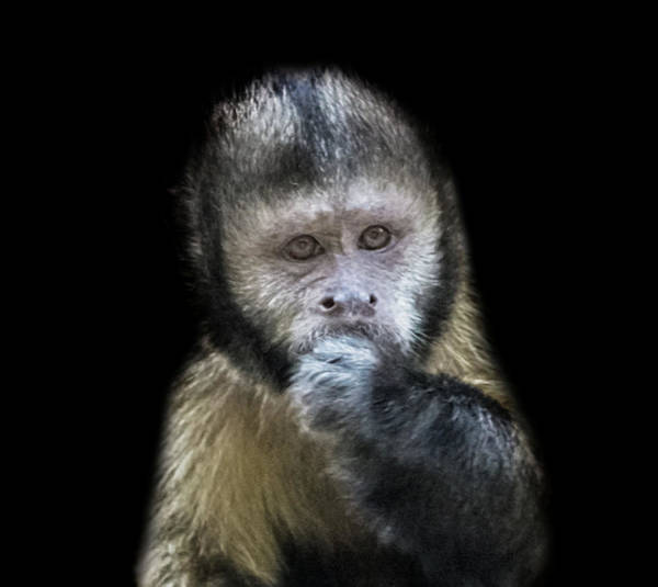 Wall Art - Photograph - Capuchin by Martin Newman