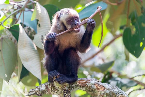Cahuita Photograph - Capuchin Monkey Chewing On A Stick by Jess Kraft