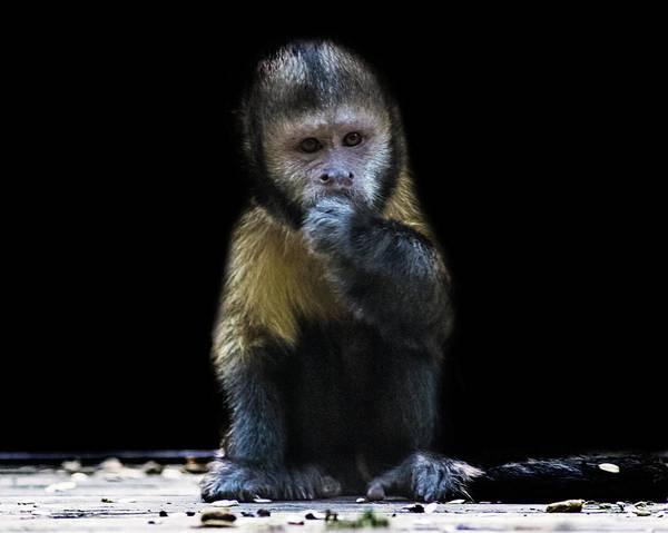Cahuita Photograph - Capuchin Monkey by Martin Newman