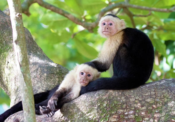 Photograph - Capuchin Monkeys by Judi Dressler
