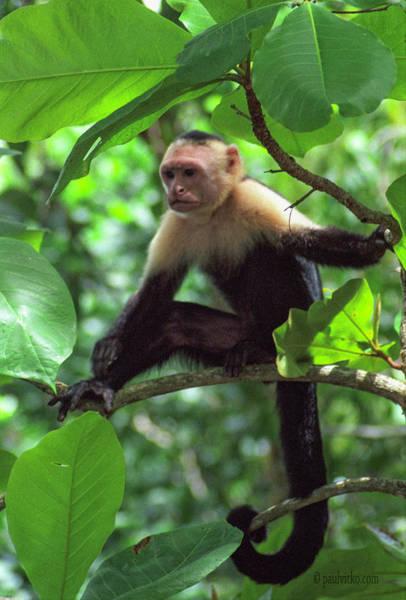 Photograph - Capuchin Present.... by Paul Vitko