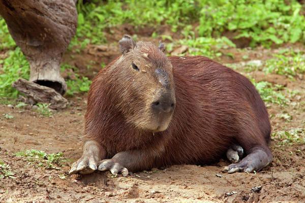 Photograph - Capybara by Aivar Mikko
