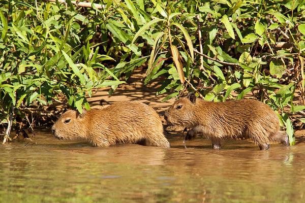 Photograph - Capybara Babies by Aivar Mikko