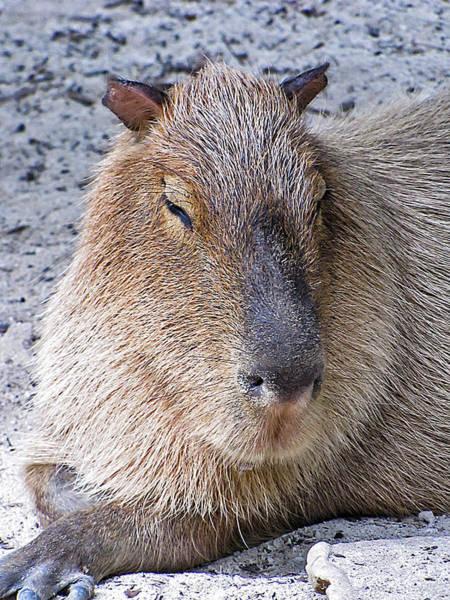 Photograph - Capybara by Bob Slitzan