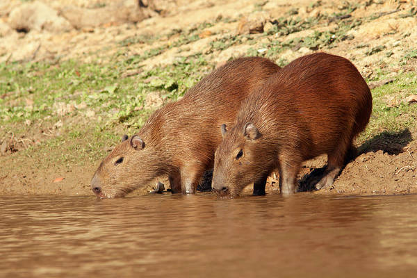 Photograph - Capybaras Drinking In Yakuma River by Aivar Mikko