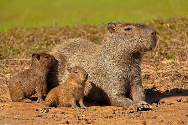 Photograph - Capybaras Enjoying Sunset by Aivar Mikko
