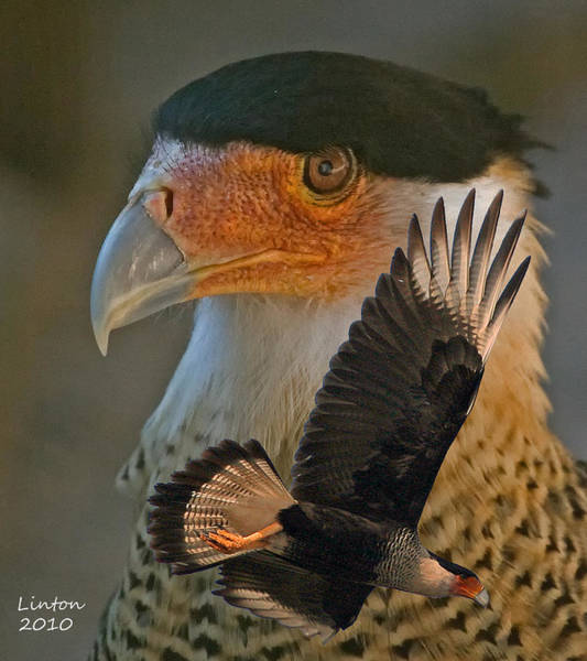 Photograph - Caracara Montage by Larry Linton