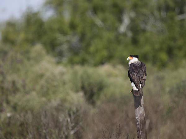 Photograph - Caracara On Fence Post by Charles McKelroy