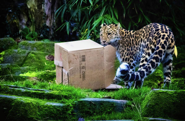 Panthera Pardus Photograph - Cardboard Box Fun by Martin Newman