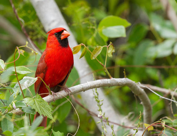 Photograph - Cardinal 147 by Michael Fryd