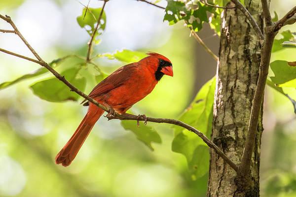 Photograph - Cardinal 2016 18 by Jim Dollar