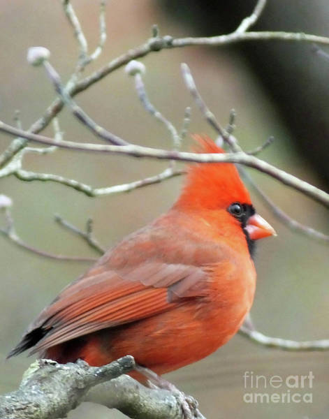 Photograph - Cardinal 58 Tanglewood by Lizi Beard-Ward