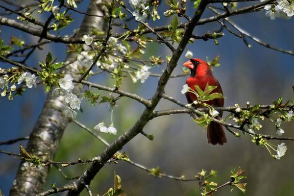 Photograph - Cardinal Among The Blossoms by John Benedict