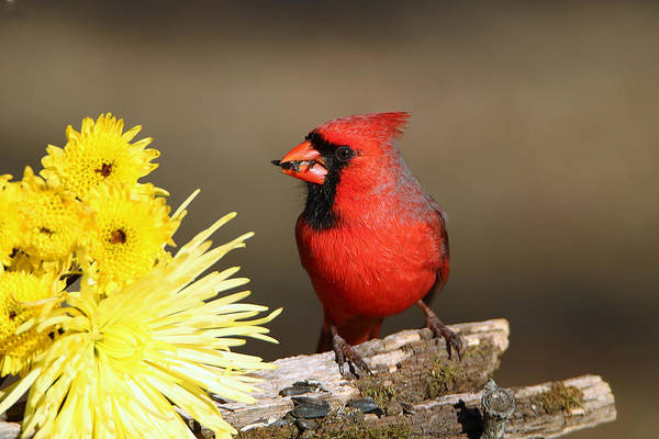 Photograph - Cardinal And Chrysanthemums by Sheila Brown