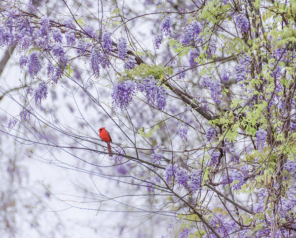 Photograph - Cardinal And Wisteria by Andrea Anderegg