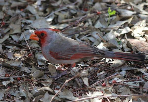 Photograph - Cardinal  by Christy Pooschke
