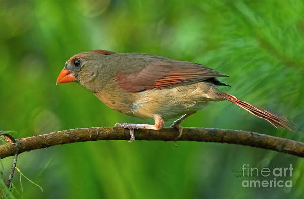 Photograph - Cardinal Closeup by Deborah Benoit
