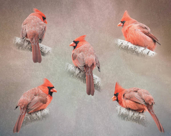 Photograph - Cardinal Study by Patti Deters
