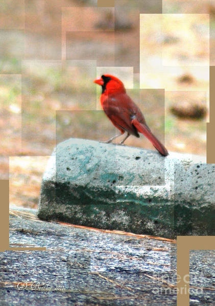 Photograph - Cardinal by Donna Bentley