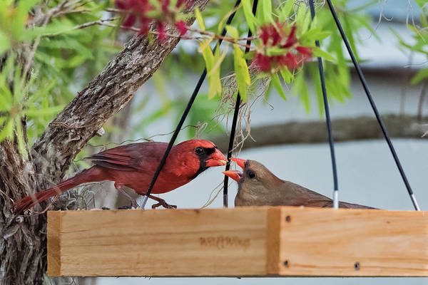 Photograph - Cardinal Feeding  by Norman Peay