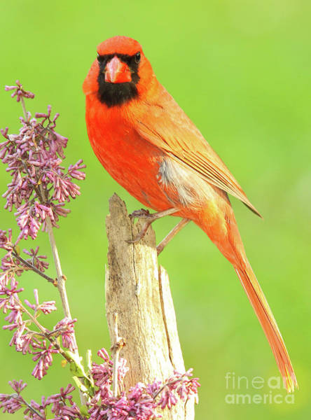 Wall Art - Photograph - Cardinal Flowery Perch by Max Allen