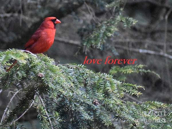 Photograph - Cardinal Greeting by Christina Verdgeline