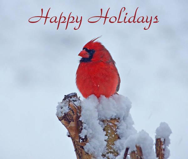 Photograph - Cardinal Holiday Card by Sandy Keeton
