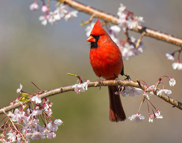 Photograph - Cardinal In Cherry by Angel Cher