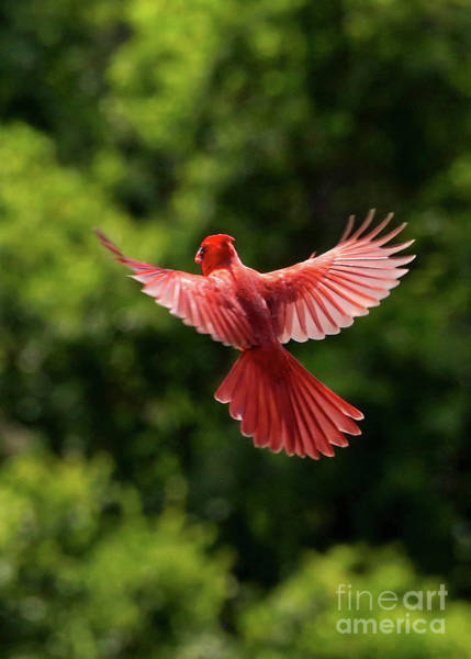 Wall Art - Photograph - Cardinal In Flight by Carol Groenen