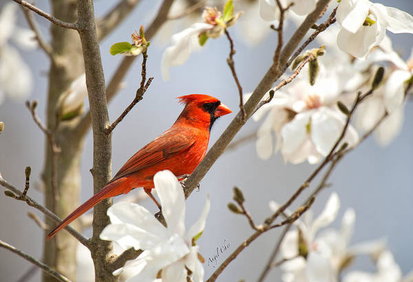 Photograph - Cardinal In Magnolia by Angel Cher