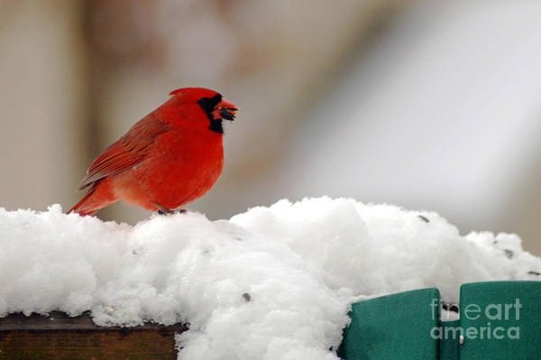 Photograph - Cardinal In Snow by Clayton Bruster