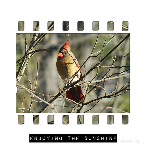 Photograph - Cardinal In Sunshine by Denise Beverly