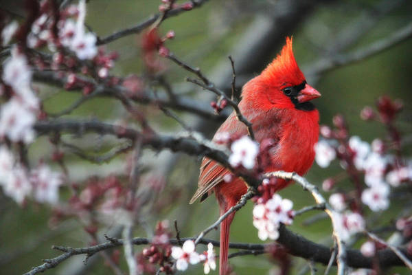 Photograph - Cardinal In The Light Of Day by Trina Ansel