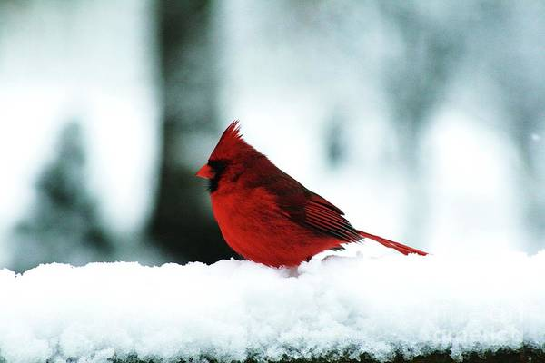 Wall Art - Photograph - Cardinal In The Snow 1 by Gregory E Dean