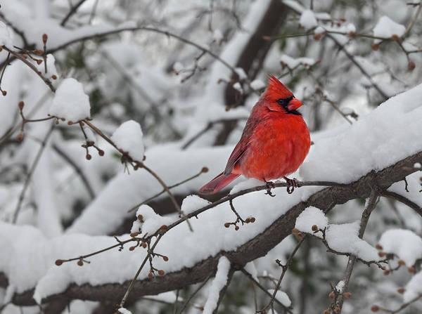 Cardinal In The Snow 1 Art Print