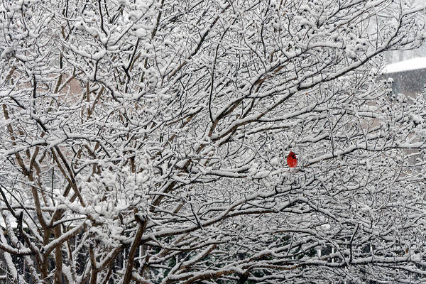 Photograph - Cardinal In The Snow by David Posey