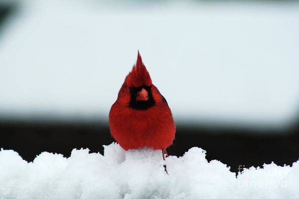 Wall Art - Photograph - Cardinal In The Snow by Gregory E Dean