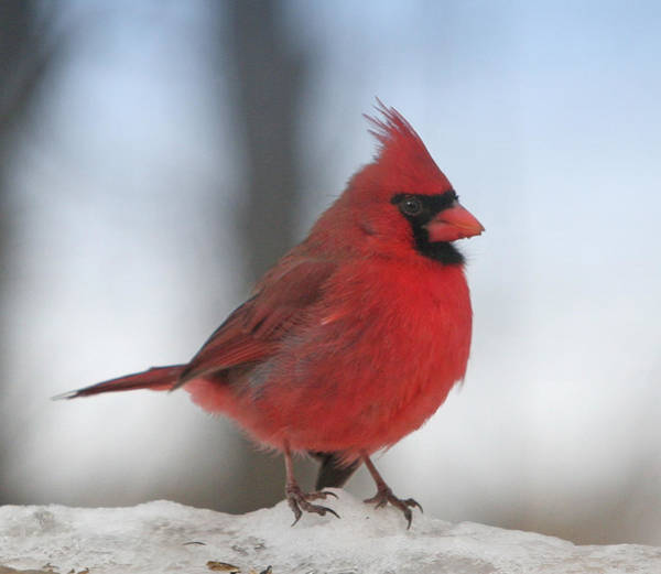 Wall Art - Photograph - Cardinal In The Snow by Laurie With