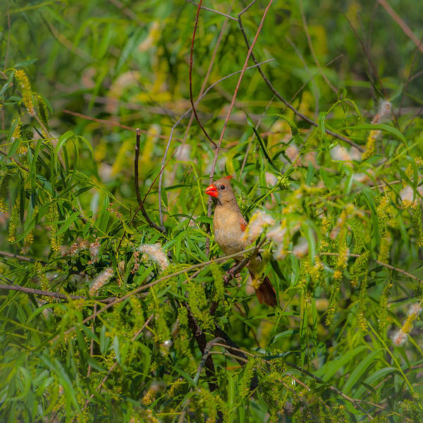 Photograph - Cardinal In The Willows by Jeff Phillippi