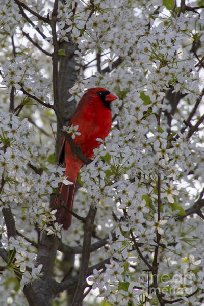 Photograph - Cardinal In White Blossoms by Barbara Bowen