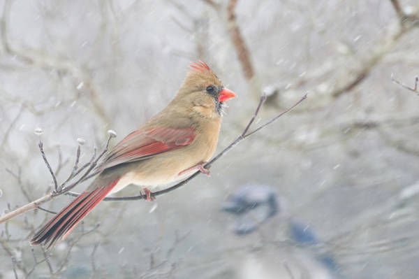 Photograph - Cardinal In Winter by Lori Coleman
