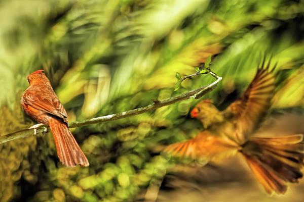 Photograph - Cardinal Inbound by Kay Brewer