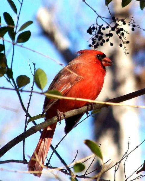 Photograph - Cardinal by Jai Johnson
